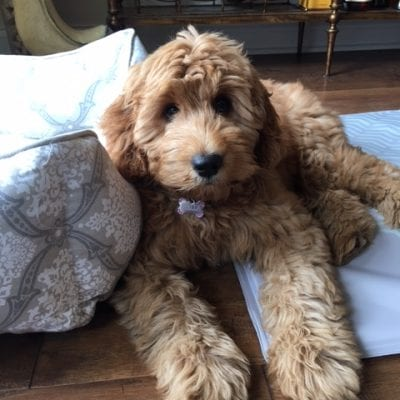 Abigail's Past F1 Mini Goldendoodle Puppies (Retired Mom)