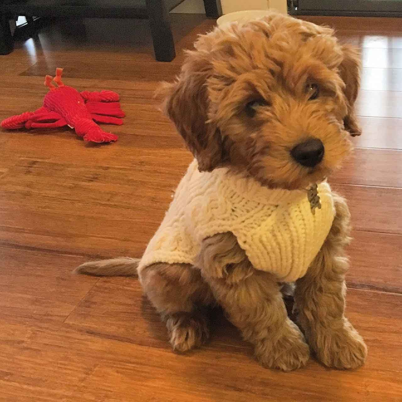 Mini Goldendoodles Puppies Goldenacresdogscom
