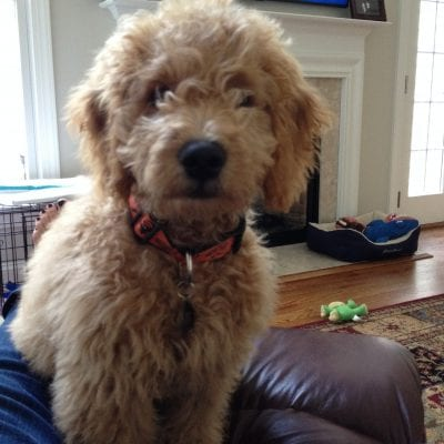 Dazzle's Past F1 Mini Goldendoodle Puppies